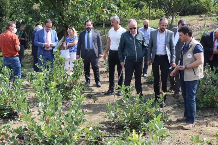 Trabzon Hurması Üretimi Yaygınlaşıyor